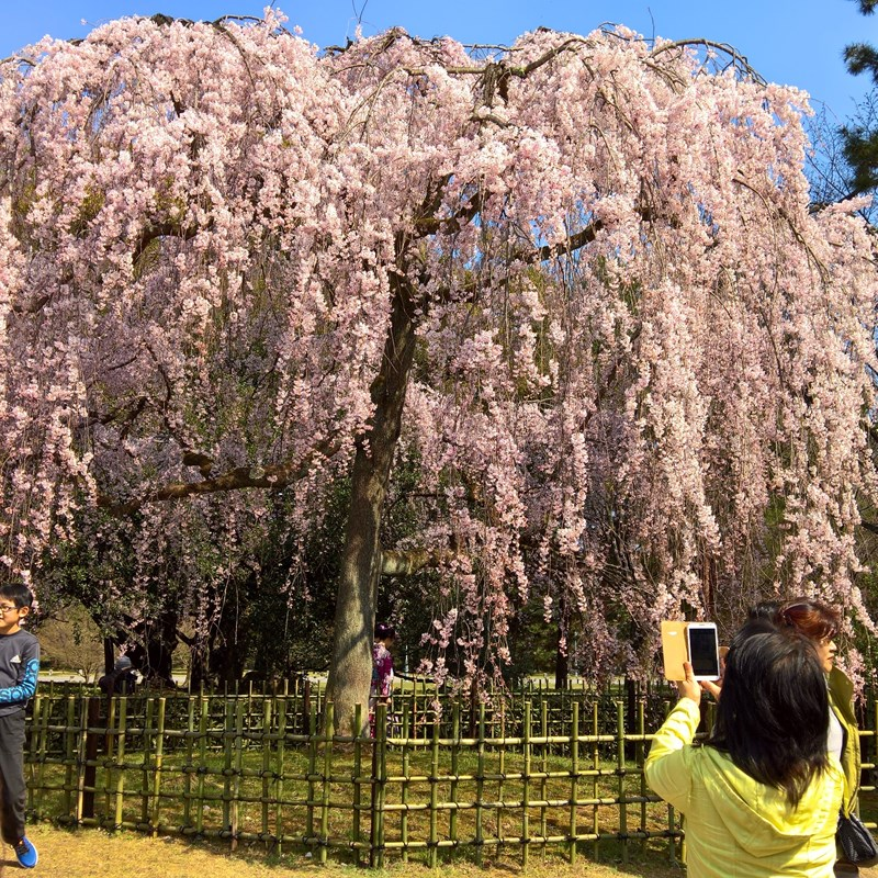 Highlight in Japan: Kirschblüte im April in Kyoto